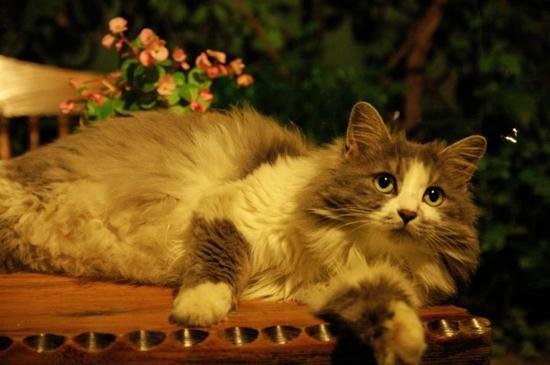 挪威森林猫猫瘟怎么治疗 猫瘟治疗方法知道