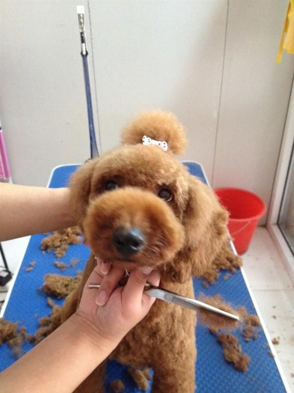 泰迪犬怎么修毛视频教程 泰迪犬修毛注意事项