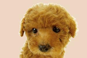 泰迪狗要怎么养活