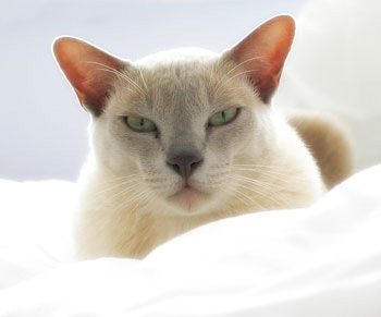 欧洲缅甸猫