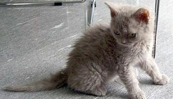 塞尔凯克卷毛猫