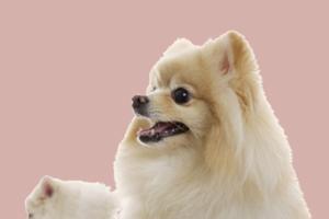 怀孕狗狗吃什么有营养