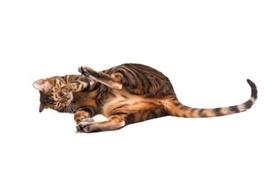 玩具虎猫眼屎多怎么回事 可能是眼部疾病