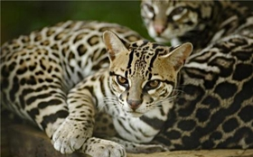 豹猫便秘怎么办 豹猫便秘症状及治疗方法