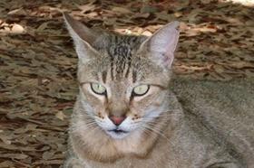 怎么给肯尼亚猫驱虫 肯尼亚猫驱虫注意事项