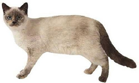重点色短毛猫鼻子不通气怎么回事 鼻子不通气原因介绍