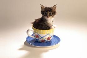 茶杯猫拉稀怎么回事 茶杯猫拉稀原因