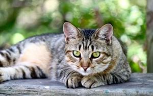 美国短毛猫为什么产后会呕吐