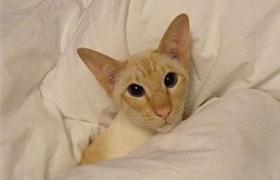 重点色短毛猫怎么消除泪痕 泪痕消除方法