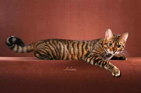 玩具虎猫感冒吃什么药 玩具虎猫感冒用药介绍