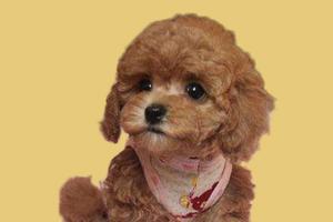 怎样教泰迪狗做恭喜