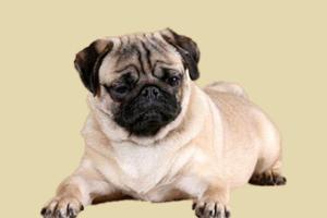 巴哥犬如何预防皮肤病