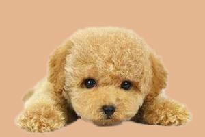 泰迪狗如何结尾