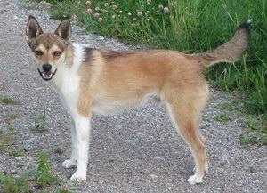 挪威伦德猎犬发烧怎么解决 挪威伦德猎犬发烧解决方案
