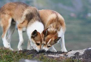 挪威伦德猎犬拉稀怎么办 挪威伦德猎犬拉肚子解决方法