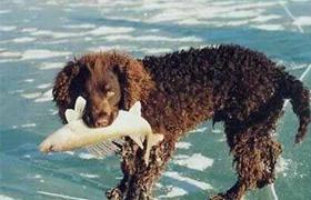 美国水猎犬怎么养 美国水猎犬护理常识