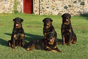 罗威纳犬感冒怎么办 罗威纳犬感冒治疗方法