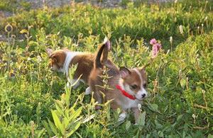 挪威伦德猎犬怎么驱虫 挪威伦德猎犬驱虫方法