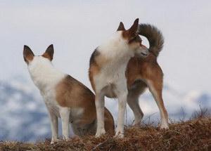 挪威伦德猎犬感冒怎么办 挪威伦德猎犬感冒处理方法