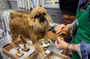 布鲁塞尔格里芬犬细小常见症状有什么