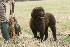爱尔兰水猎犬怎么美容 美容养护护理介绍