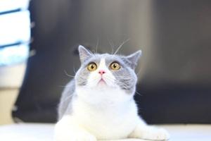 英国短毛猫和美国短毛猫的区别有哪些