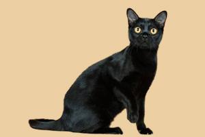 孟买猫性格怎么样