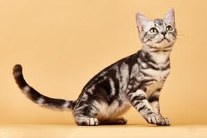 美国短毛猫性格特点是什么