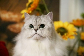 金吉拉猫心肌炎什么原因 金吉拉猫心肌炎原因介绍