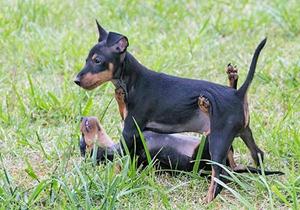 玩具曼彻斯特犬生病吃什么
