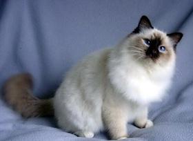 雪鞋猫不吃东西怎么办 雪鞋猫食欲不振解决办法