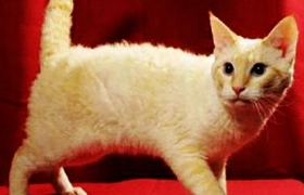 拉邦猫呕吐怎么回事 拉邦猫呕吐原因介绍