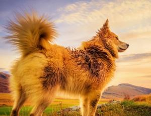 怎么喂冰岛牧羊犬吃药 冰岛牧羊犬喂药技巧