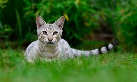 热带草原猫咳嗽怎么办 热带草原猫咳嗽解决办法