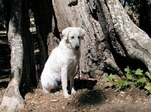 怎么预防库瓦兹犬贫血 库瓦兹犬贫血防治方法