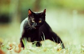 孟买猫癌症有什么征兆 癌症征兆介绍