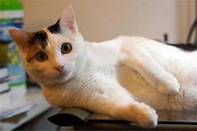 日本短尾猫牙结石怎么治疗 日本短尾猫牙结石治疗方法