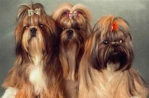 拉萨犬感冒怎么治疗 拉萨犬感冒治疗方法