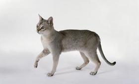 新加坡猫鼠疫有什么症状 新加坡猫鼠疫症状介绍