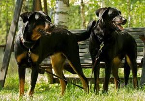 法国狼犬感冒怎么治疗 法国狼犬感冒治疗方法