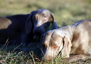 威玛猎犬鼻子干是怎么回事 威玛猎犬鼻子干处理方法