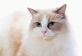 土耳其梵猫腹泻怎么治疗 土耳其梵猫腹泻治疗方法