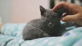 俄罗斯蓝猫得皮肤病怎么办 猫咪皮肤病治疗方法