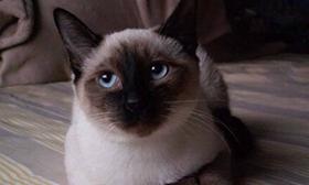 暹罗猫常患疾病有哪些 暹罗猫常患疾病介绍