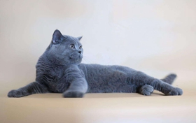 英国短毛猫长猫藓怎么办