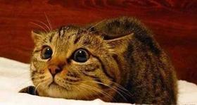 中国狸花猫感冒了怎么办 狸花猫感冒预防方法