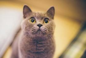 英国短毛猫常见疾病有哪些 英短常见疾病介绍
