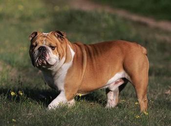 英国斗牛犬