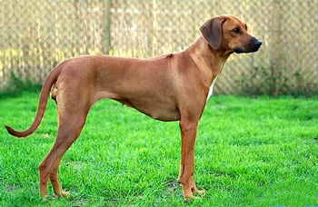 罗得西亚脊背犬