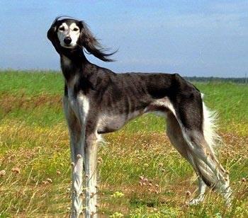 萨路基猎犬